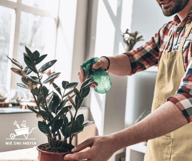 Besprühen der Zimmerpflanze