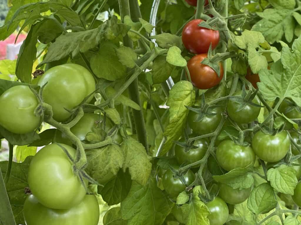 Tomaten unreif