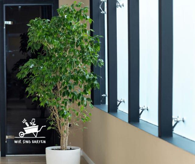 Ficus Bejamina